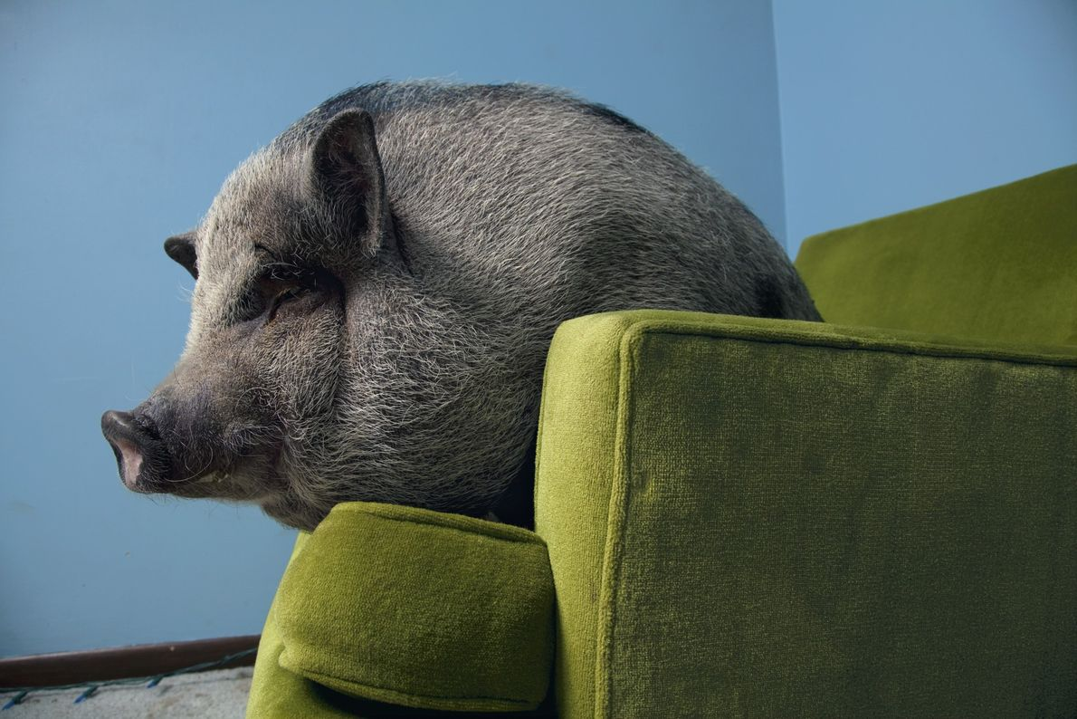 Os porcos-vietnamitas, tal como todos os porcos, são altamente sociais. Estudos demonstram que os porcos engendram ...