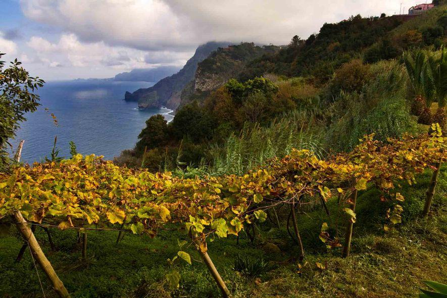 """As videiras florescem nos solos vulcânicos da Madeira. """"Aqui, as coisas crescem de uma forma louca"""", ..."""