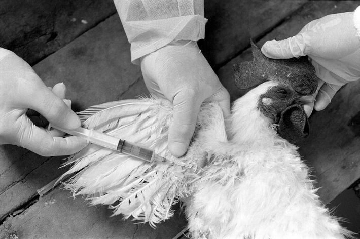 Investigadores recolhem uma amostra de sangue de uma galinha para testar a gripe aviária, em Chan ...