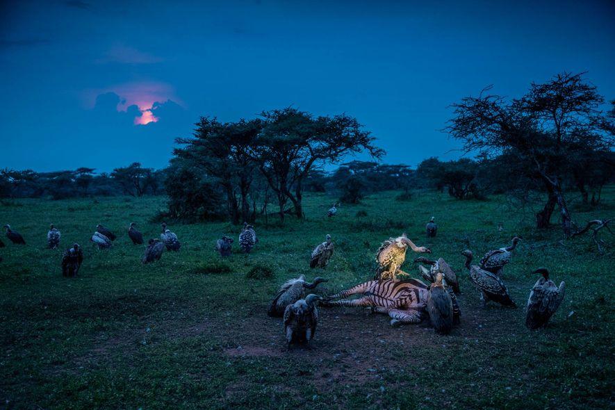Um grifo-pedrês reclama para si a carcaça de uma zebra, no Parque Nacional do Serengueti, na …