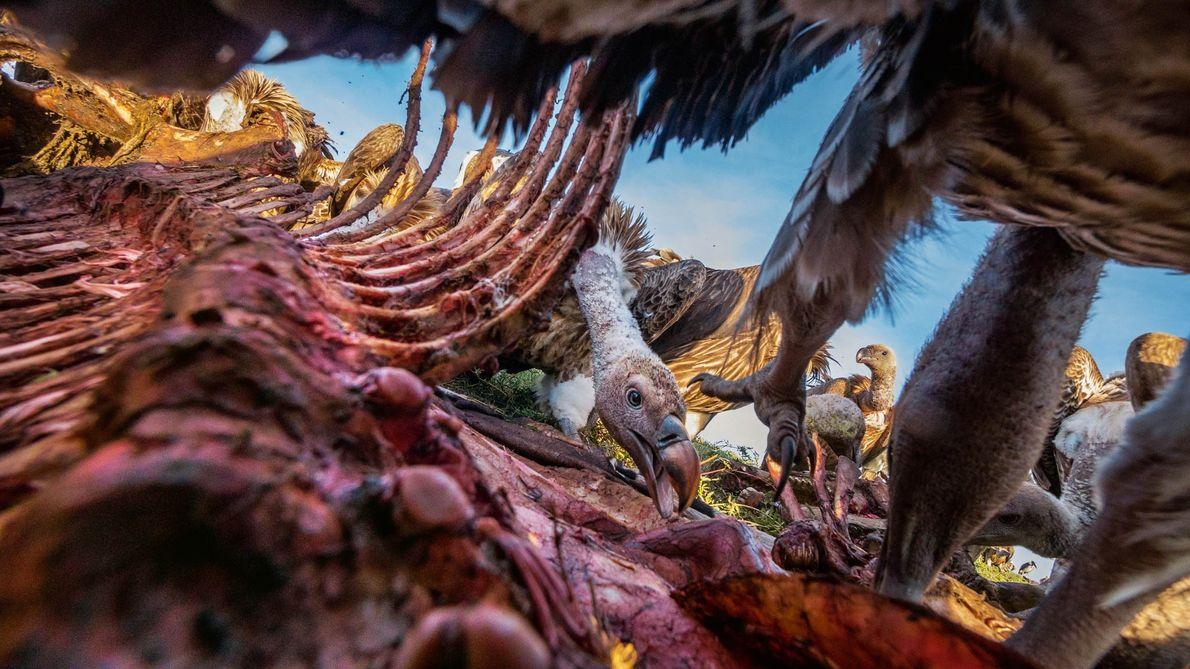 Foto de abutre a alimentar-se