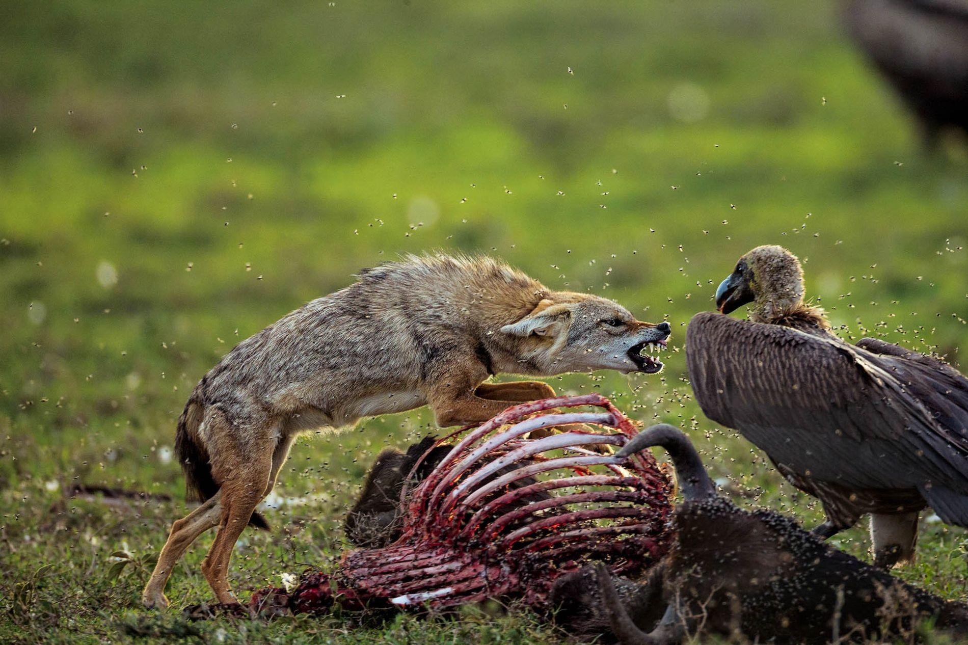 No Serengueti, um chacal-dourado impõe-se perante um grifo-africano imaturo que se intrometeu na sua refeição de gnu morto.