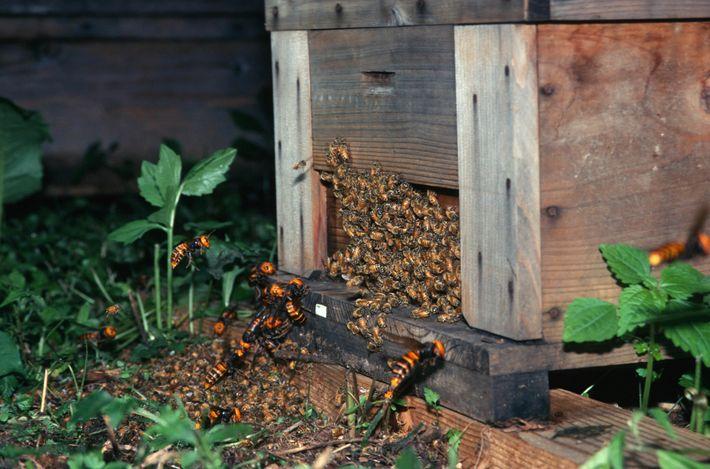 Vespas-gigantes-asiáticas (Vespa mandarinia) atacam abelhas no Japão. Uma nova investigação revela que os parentes mais próximos ...
