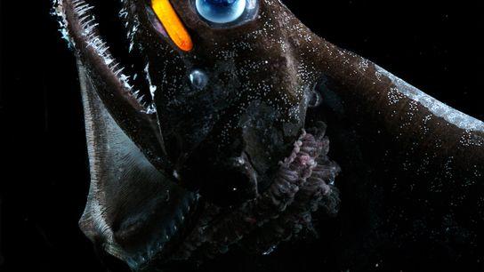 Peixe-dragão com olhos azuis e mancha cor de laranja.