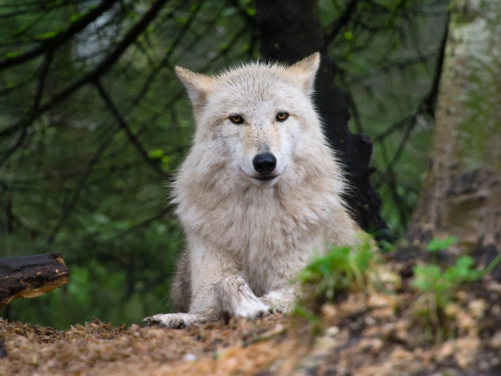 À medida que os lobos regressam à região oeste dos EUA, os debates sobre a forma ...