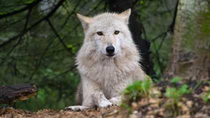 Mortes Controversas de Lobos Continuam no Estado de Washington