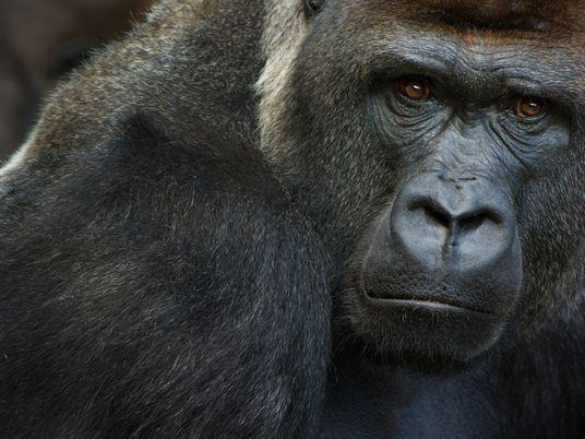 Vários Gorilas Testam Positivo Para a COVID-19 em Zoo da Califórnia