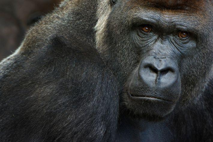Sabe-se que os gorilas-ocidentais-das-terras-baixas, animais em perigo crítico de extinção, são suscetíveis ao novo coronavírus. No ...