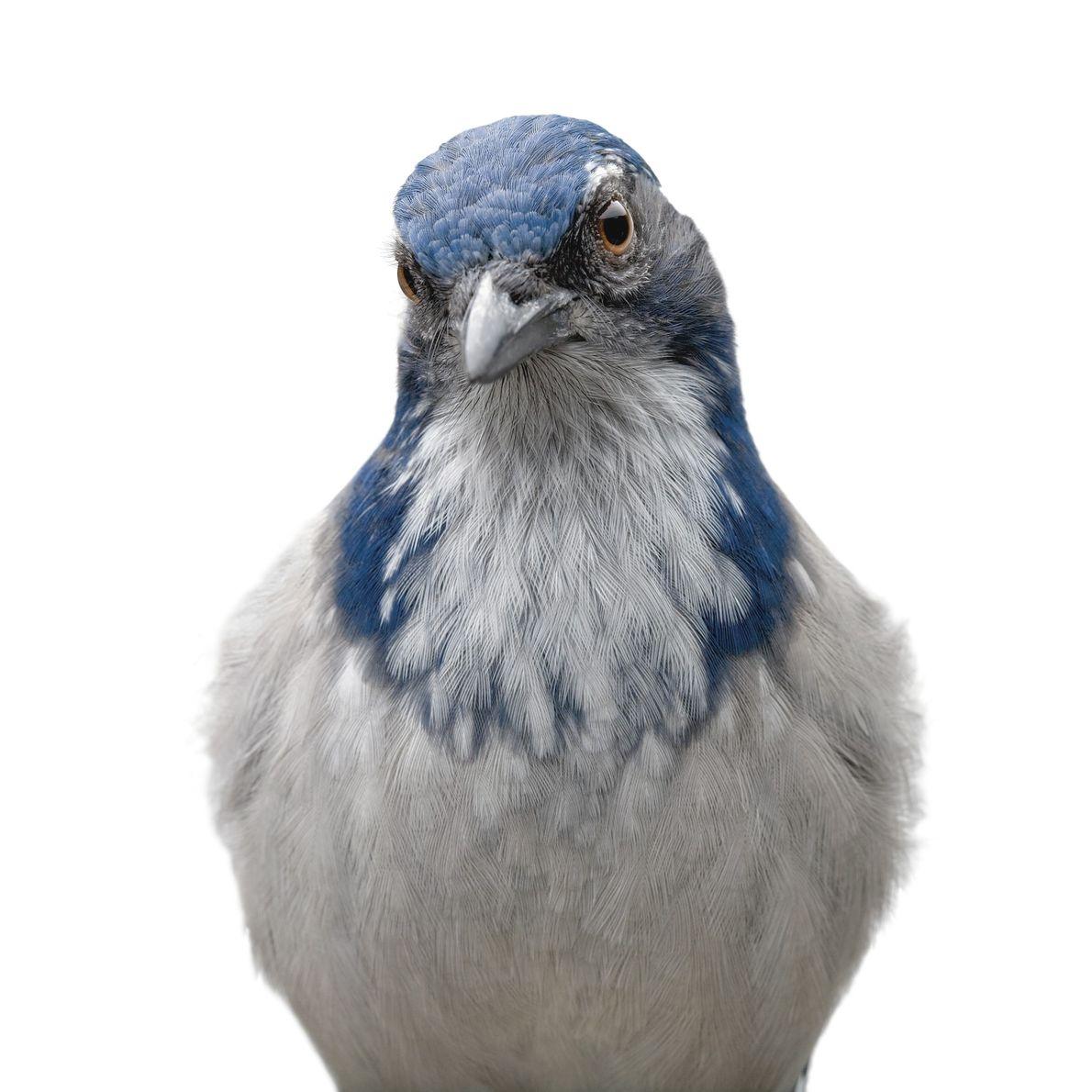 O Aphelocoma californica, um pássaro nativo do oeste da América do Norte, consegue lembrar-se onde guarda ...