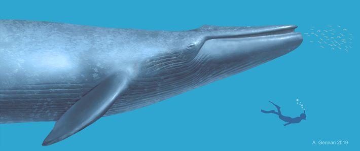 Uma ilustração faz a comparação entre o tamanho de um mergulhador e a antiga baleia.