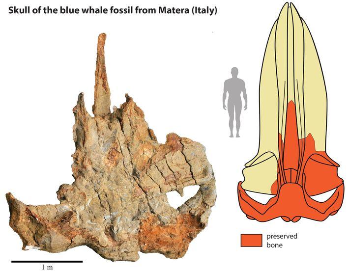 O crânio fóssil da baleia de Matera (à esquerda) ajudou os cientistas a reconstruir um crânio ...