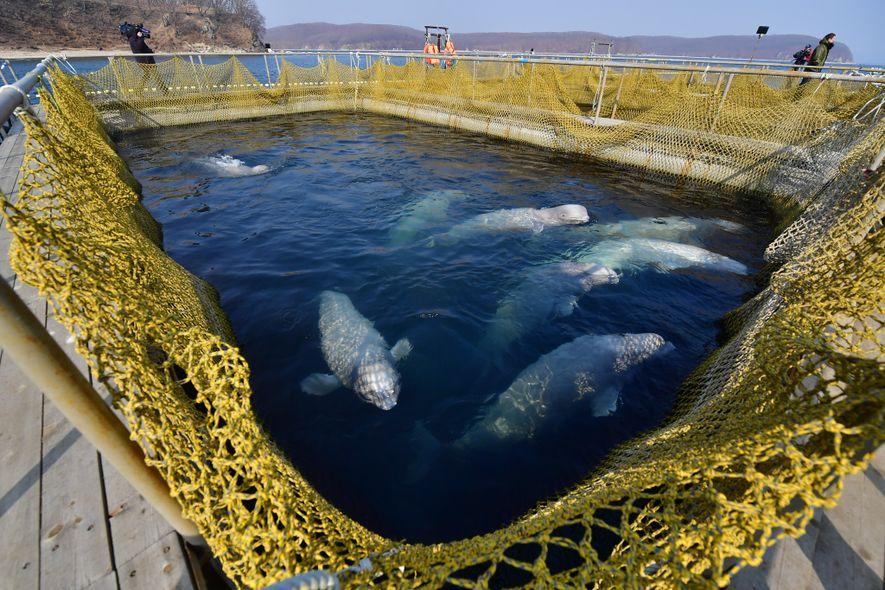Uma fotografia captada em março mostra as baleias-brancas dentro de um cercado. Os especialistas em cetáceos ...