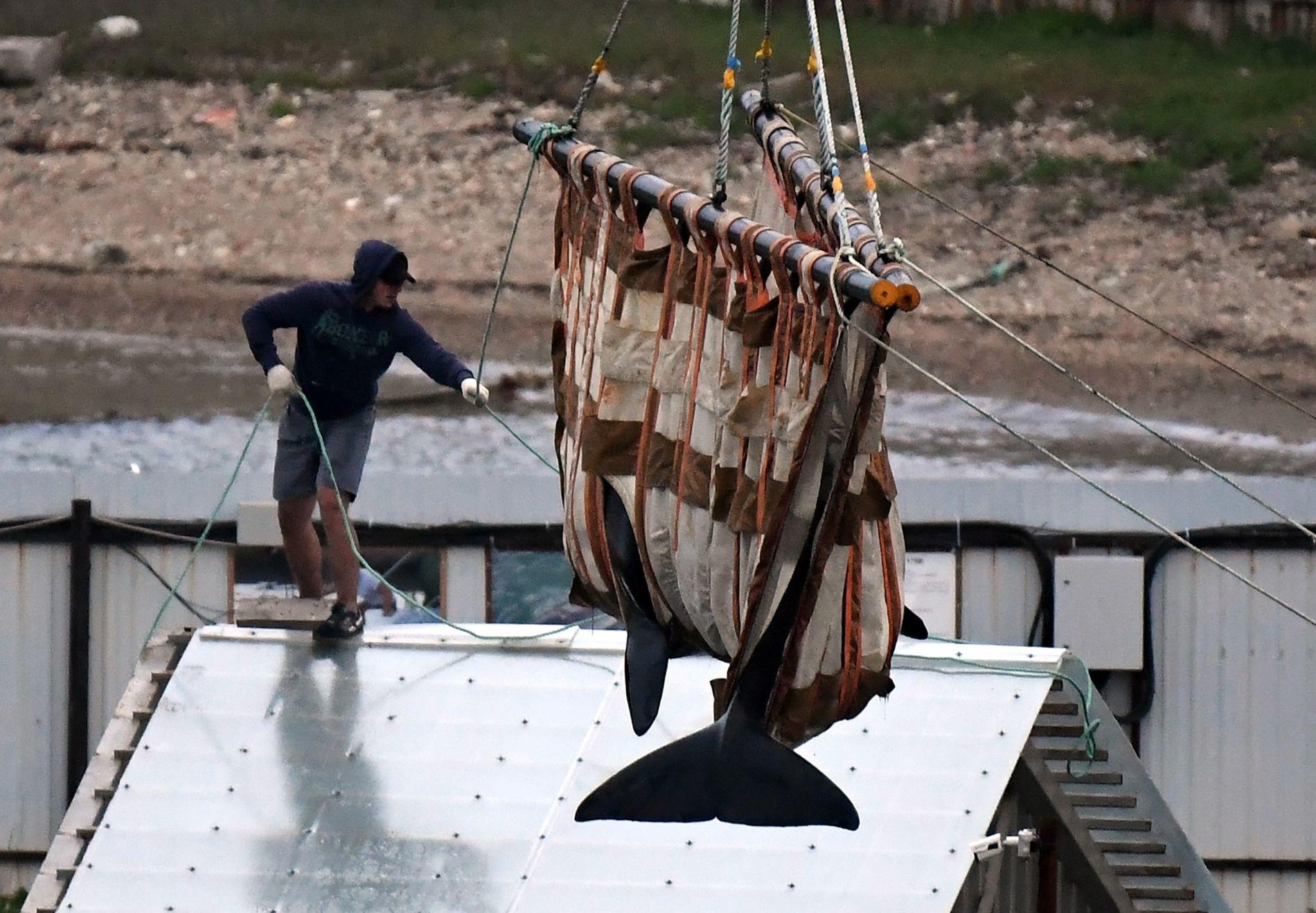 Em junho, as autoridades russas retiraram uma orca de um cercado para baleias, no extremo leste ...