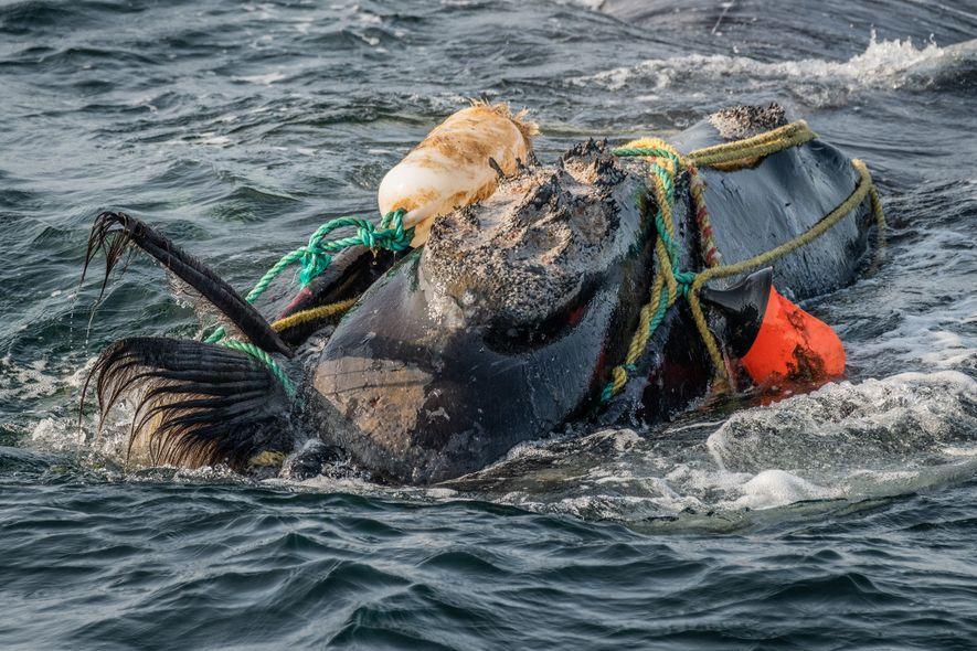 Cordas de pesca enroladas na cabeça e na boca de uma baleia-franca-do-atlântico-norte, no Golfo de São ...