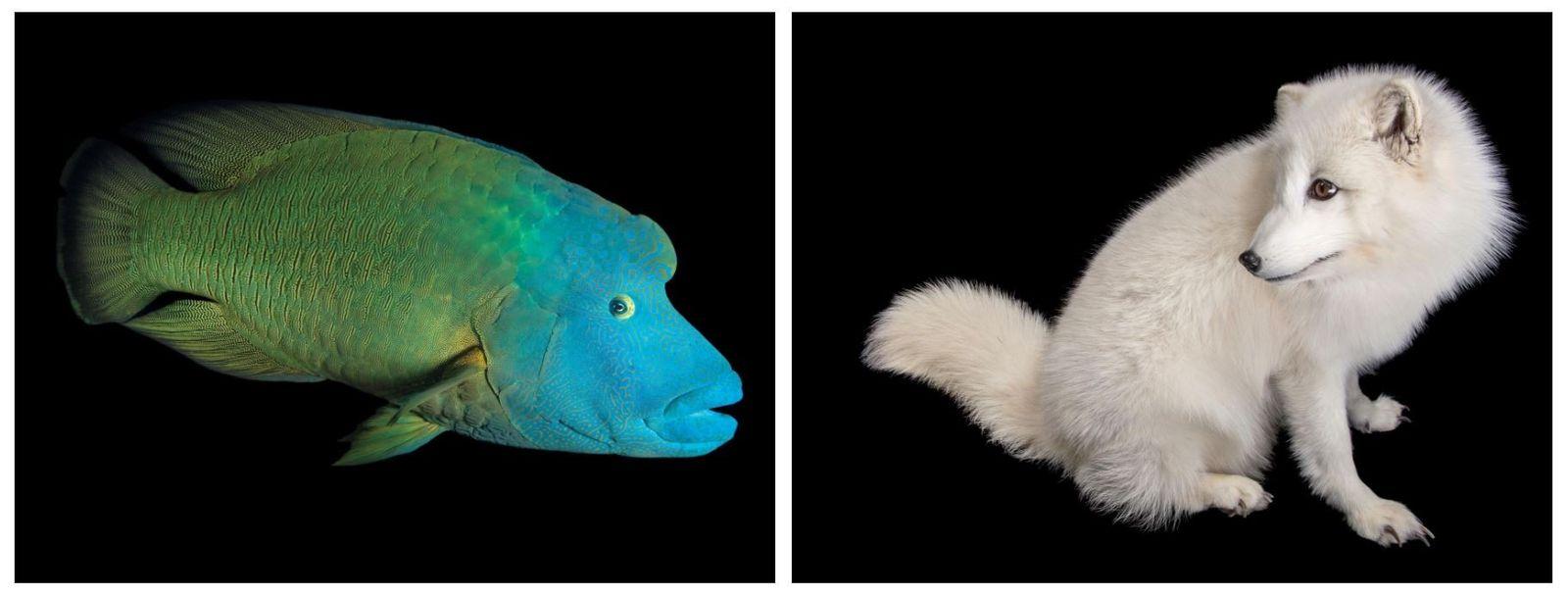 Esquerda: Peixe-napoleão, Cheilinus undulatus (em perigo). Direita: Raposa-do-ártico, Vulpes lagopus (pouco preocupante).