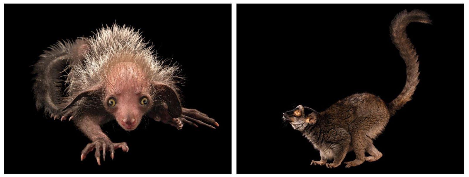 Esquerda: Aie-aie, Daubentonia madagascariensis (em perigo)  Apesar de raro, este lémure – o maior primata noturno ...