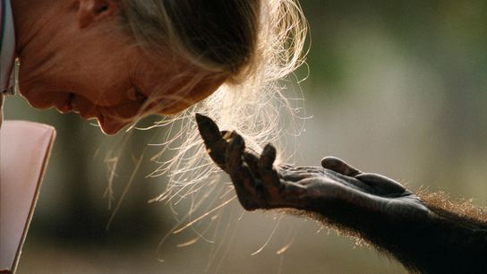 Jou Jou, um chimpanzé macho adulto, estende a mão para cumprimentar a exploradora da National Geographic ...