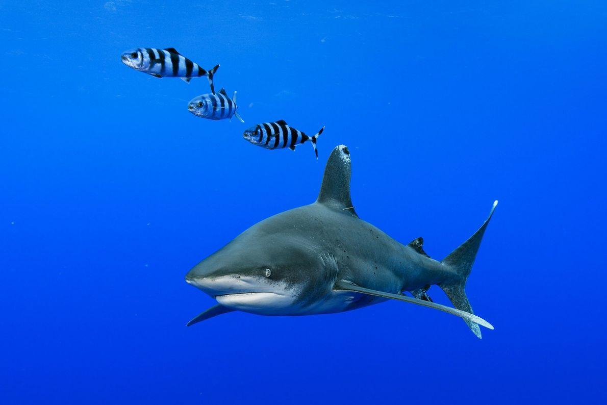 TUBARÃO-DE-PONTAS-BRANCAS, Carcharhinus longimanus.