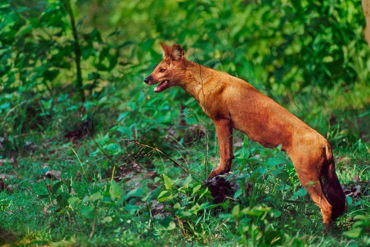 whistling-animals-dholes