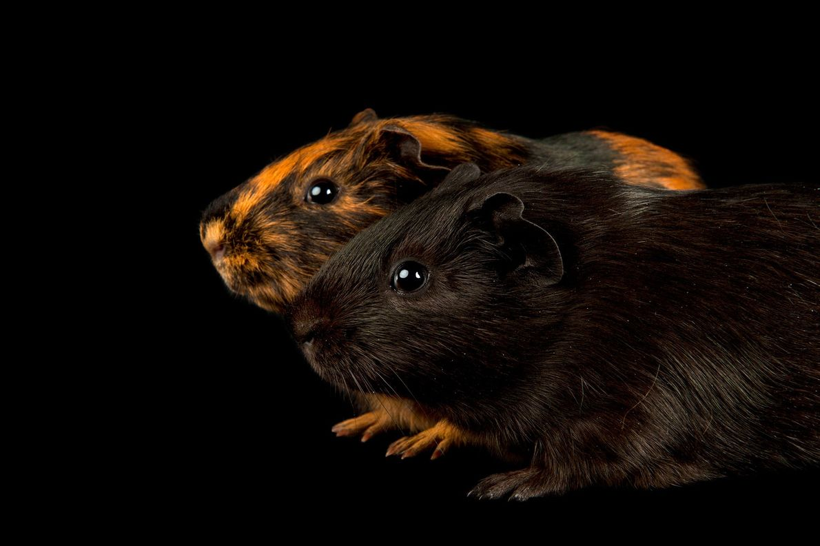whistling-animals-guinea-pigs