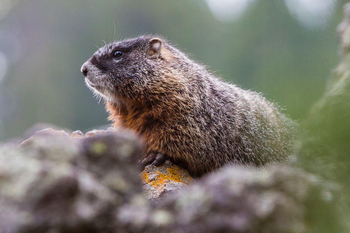 whistling-animals-marmot
