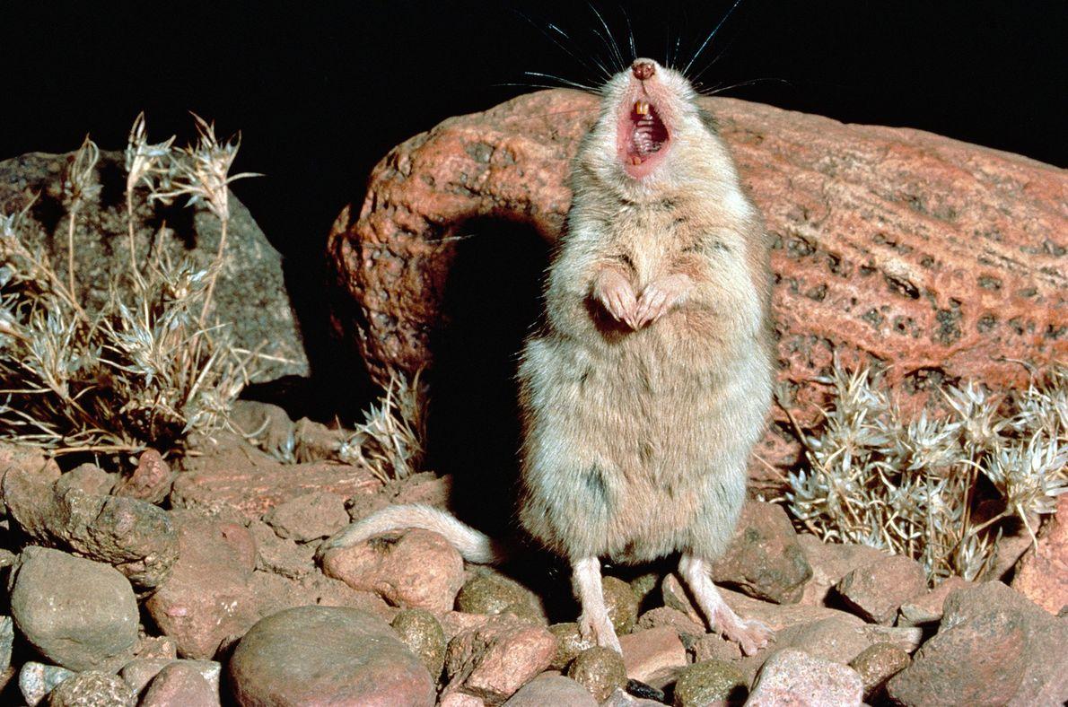 whistling-animals-mice