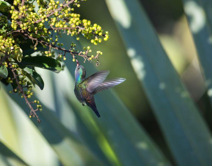 Um beija-flor-roxo, nativo do norte da América do Sul, alimenta-se de uma flor.
