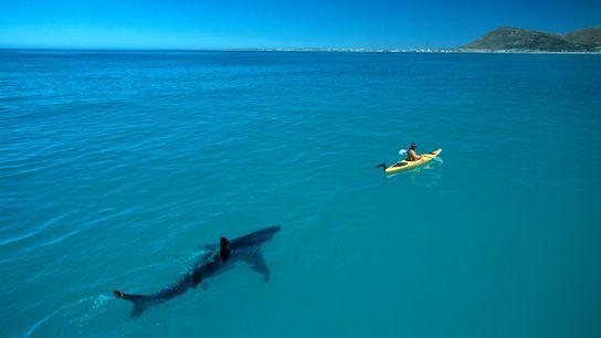 Um grande tubarão-branco aflora à superfície.