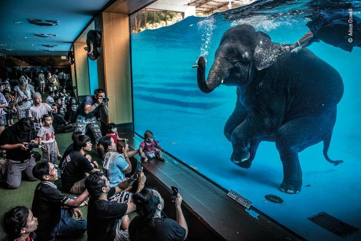 Jovem elefante num espetáculo debaixo de água