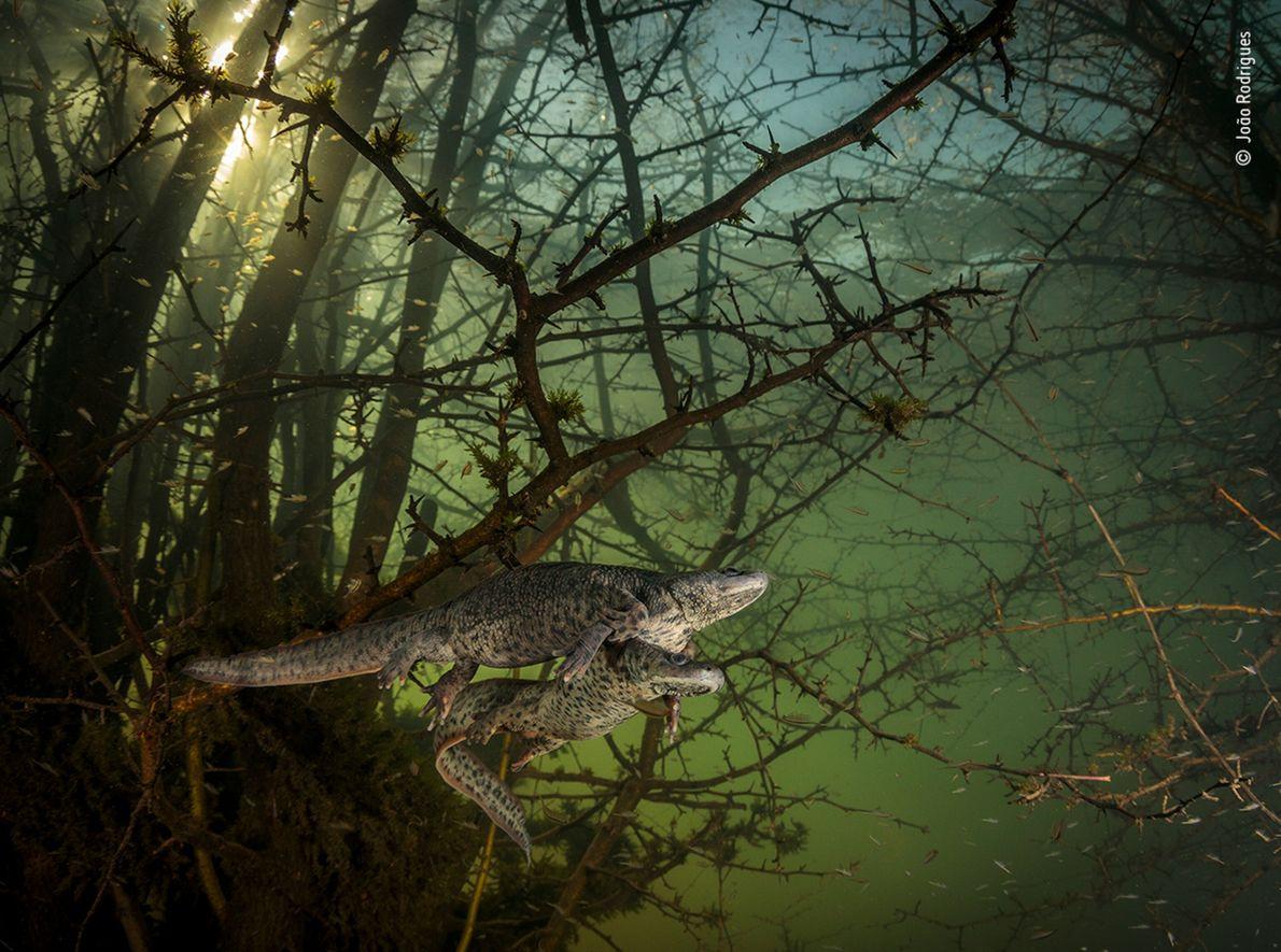 Salamandras-de-costelas-salientes