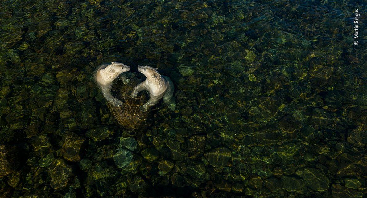 Dois ursos-polares na Baía de Hudson