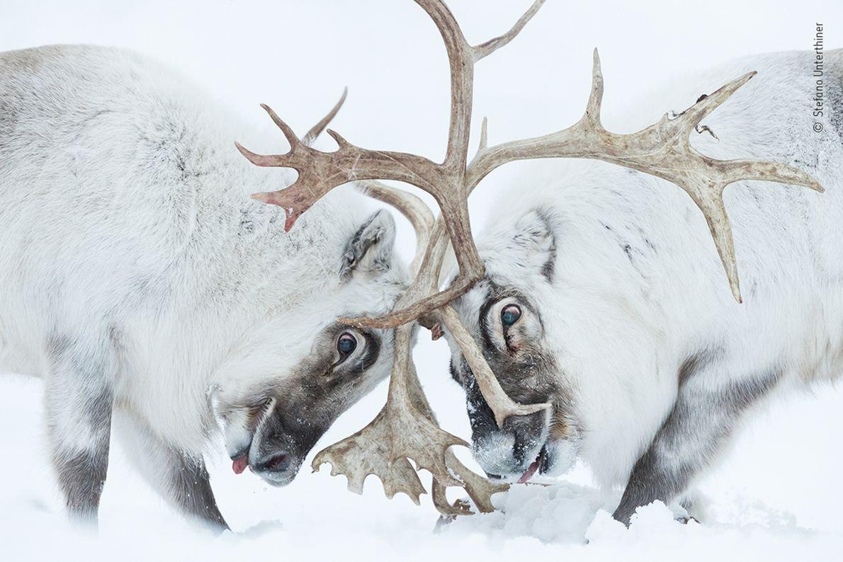 Duas renas de Svalbard lutam pelo controlo
