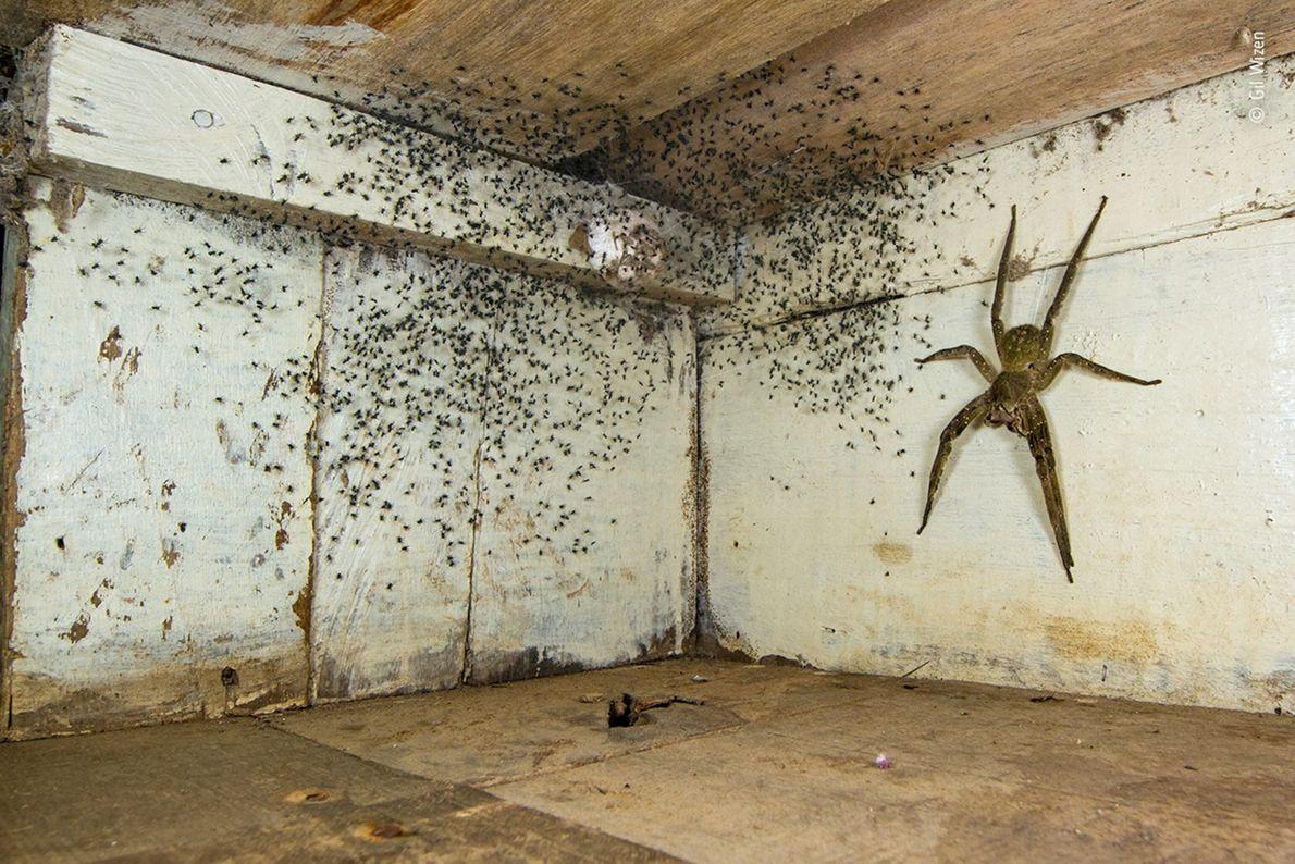 Aranha Ctenidae brasileira