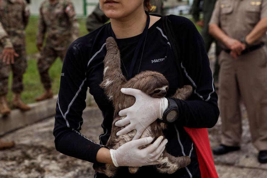 A veterinária Violeta Barrera Navarro com uma preguiça ao colo após a operação de resgate em ...