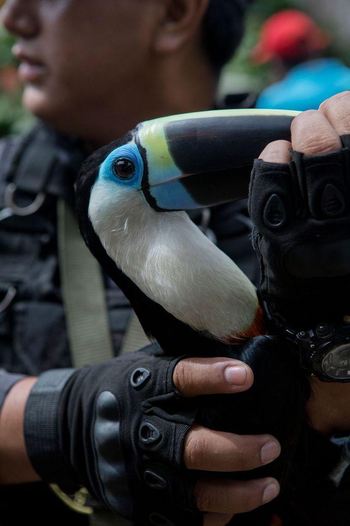 Este tucano é uma das 14 aves resgatadas nas quais se incluem araras e papagaios. Todos ...