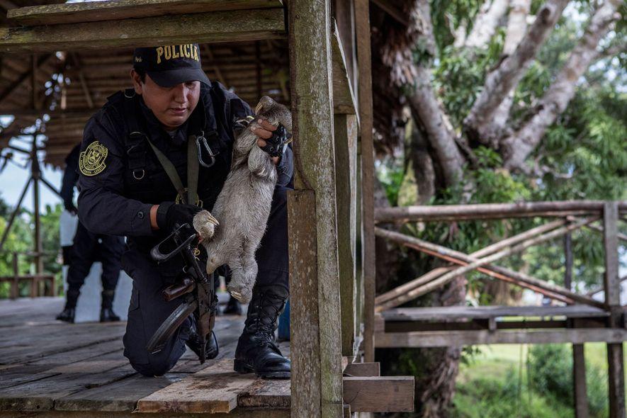 Um agente da polícia retira uma preguiça de um gradeamento em madeira. Esta enorme plataforma é ...