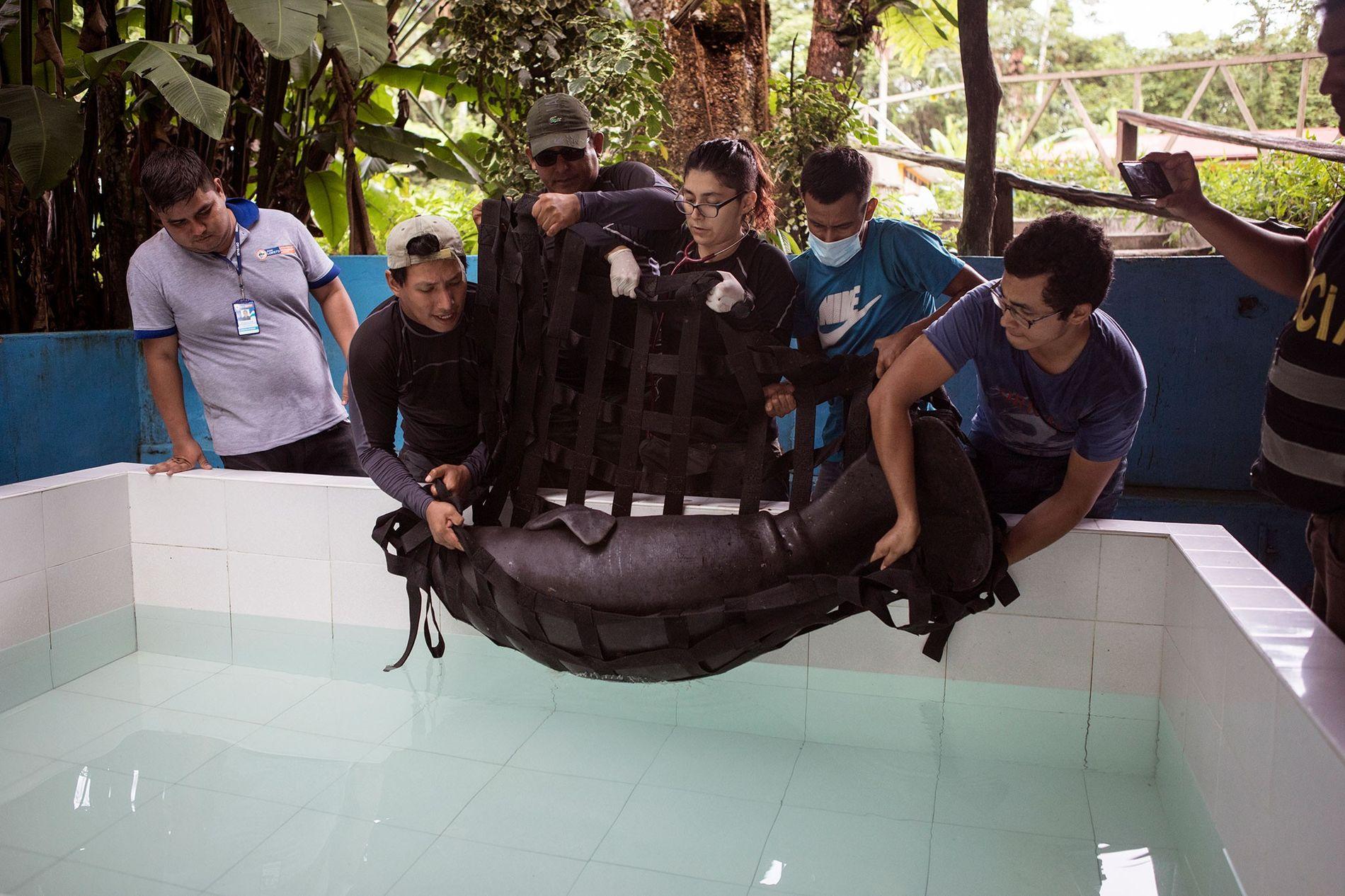 No Centro de Rescate Amazonico, um centro de reabilitação de vida selvagem em Iquitos, os veterinários ...
