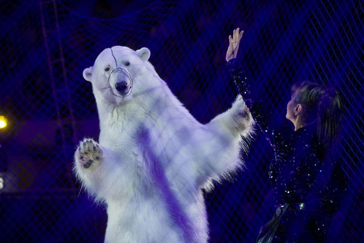 Um urso-polar dança atrás de uma rede no Circo de Gelo de Kazan, na Rússia. Os ...