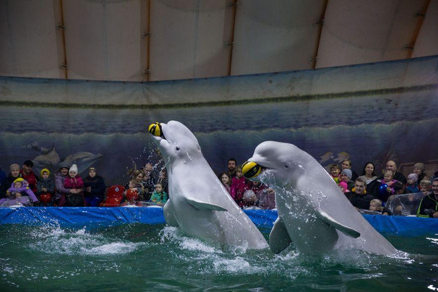 Baleias-brancas, ou beluga, a atuar num aquário que viaja por todo o lado, debaixo de uma ...