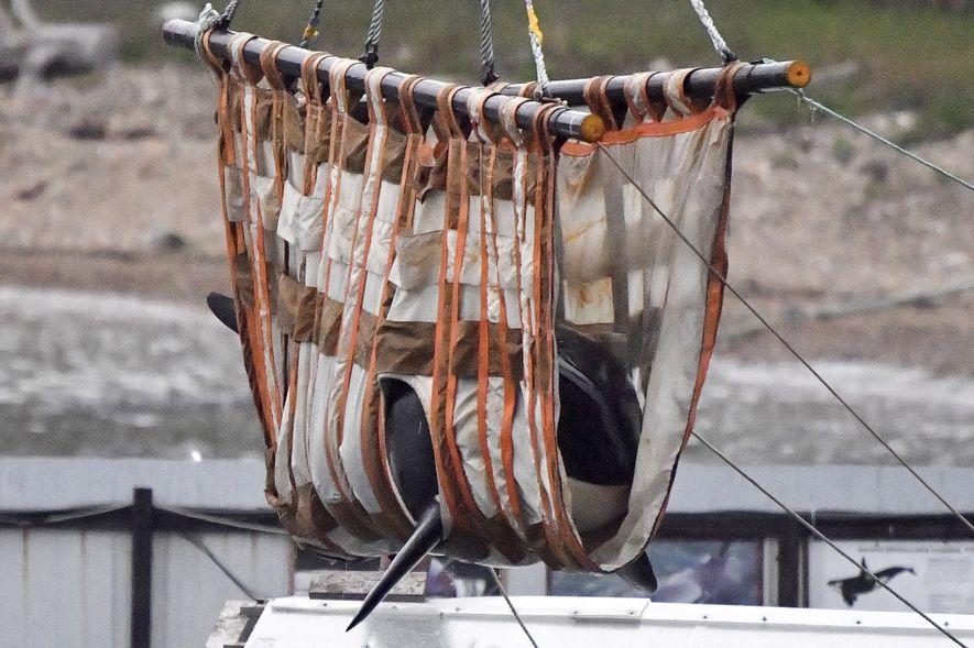"""Depois de terem sido capturadas e mantidas durante meses numa """"prisão de baleias"""", cerca de 100 ..."""