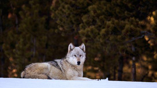 Um lobo em Yellowstone. As investigações demonstram que os lobos trazem benefícios para o ambiente, embora ...