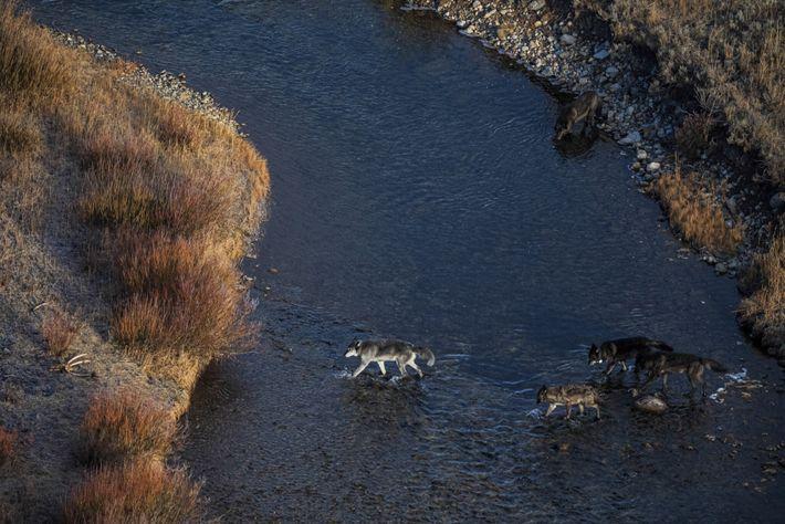 Uma alcateia de lobos no Parque Nacional de Yellowstone, em Wyoming. Os lobos foram introduzidos em ...