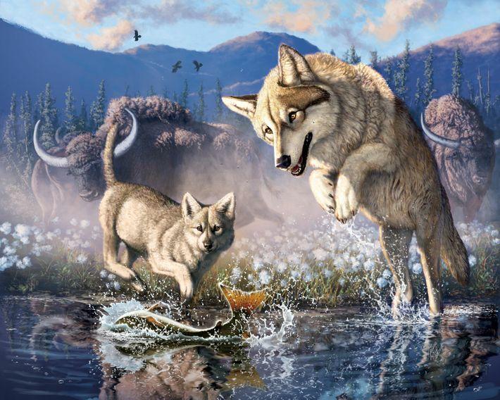 Esta ilustração mostra um lobo a caçar peixe com a sua cria no noroeste do Canadá ...