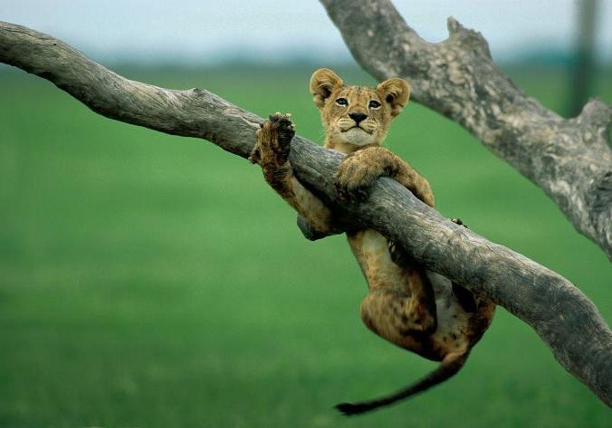 Uma cria de leão pendura-se no ramo de uma árvore.