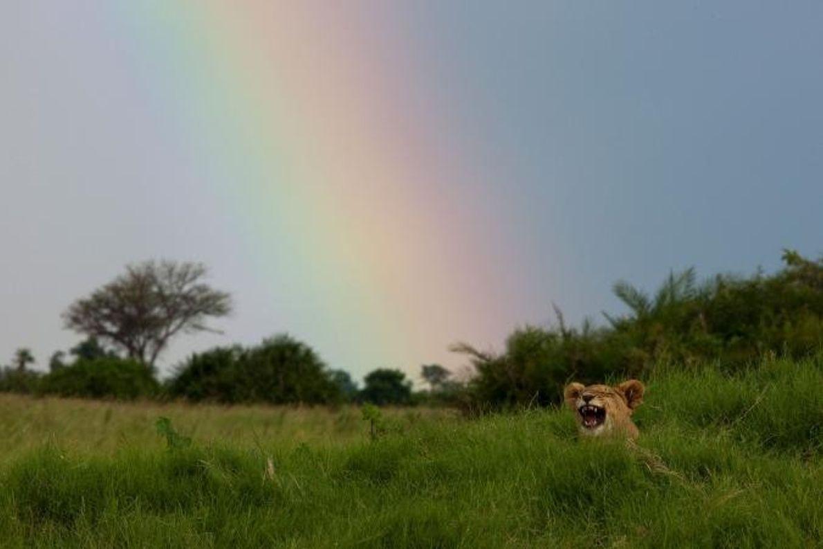 Uma cria de leão, com seis meses, deita-se no chão em frente a um arco-íris.