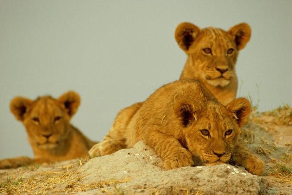 Três crias de leão brincam à luz do sol.