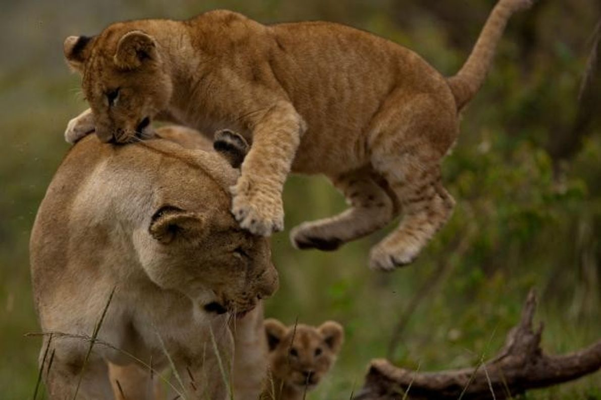 Crias de leão brincam sobre a erva verdejante.