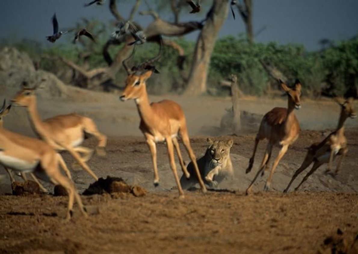 Uma leoa persegue um grupo de gazelas.