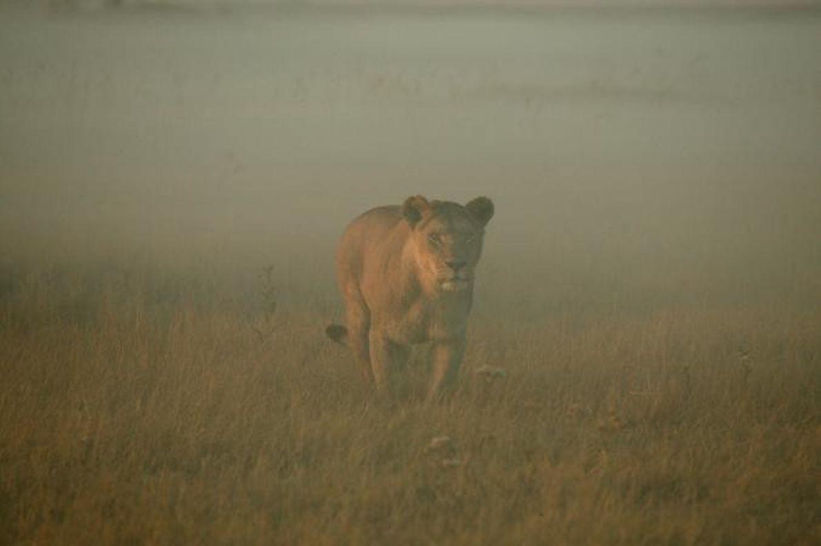 Uma leoa caminha pela bruma da savana.
