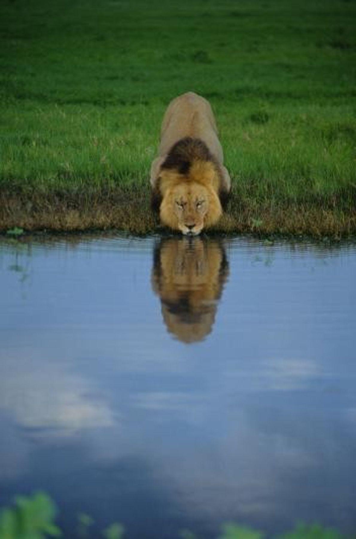 Um leão sacia a sede nas águas de um lago.